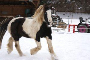 Pferd Tinker Reiten
